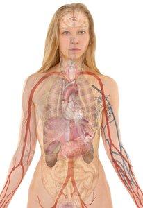 مدل آناتومی زن